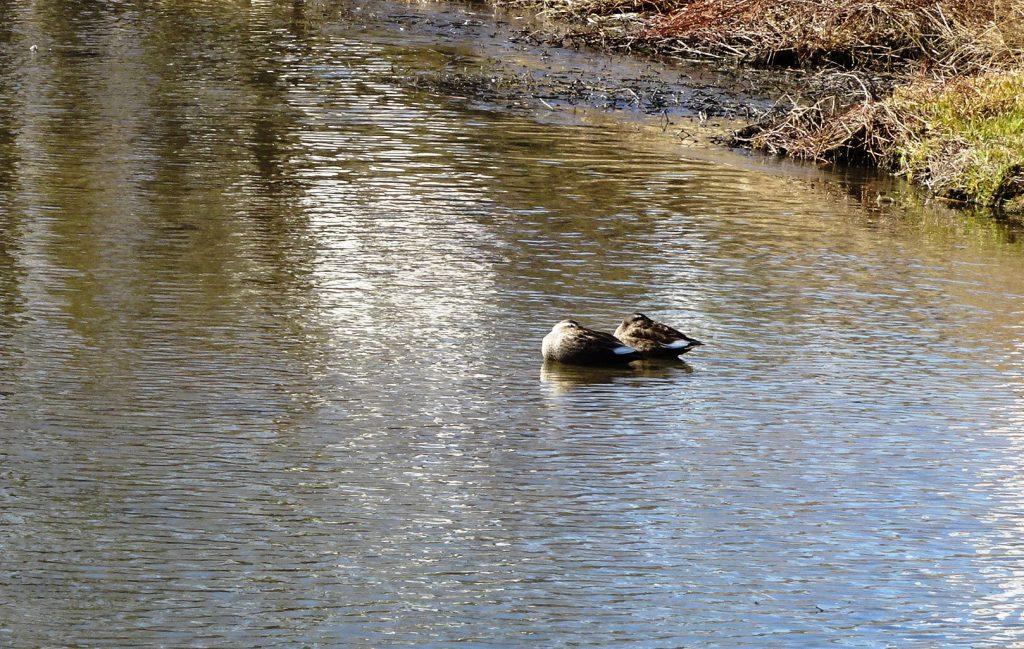 首をすくめて暖をとる鴨