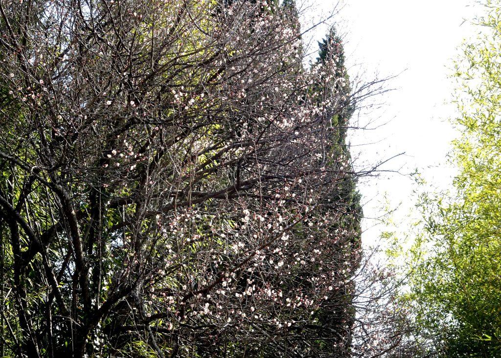 梅三分咲き