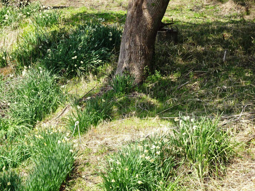 木陰の水仙