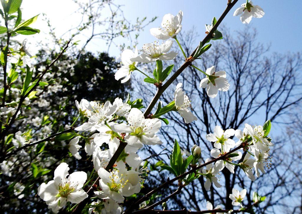 山桜桃梅(うすらうめ)が咲きました。