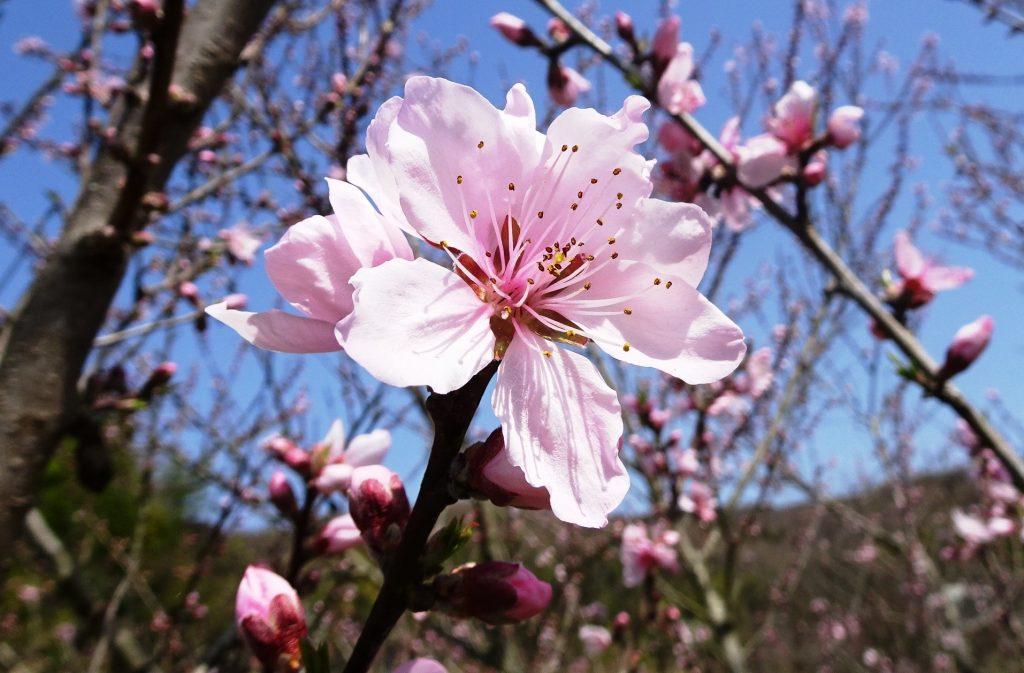 桃の花咲きました。