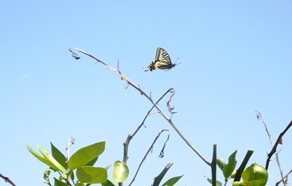 みかんの木とアゲハ蝶