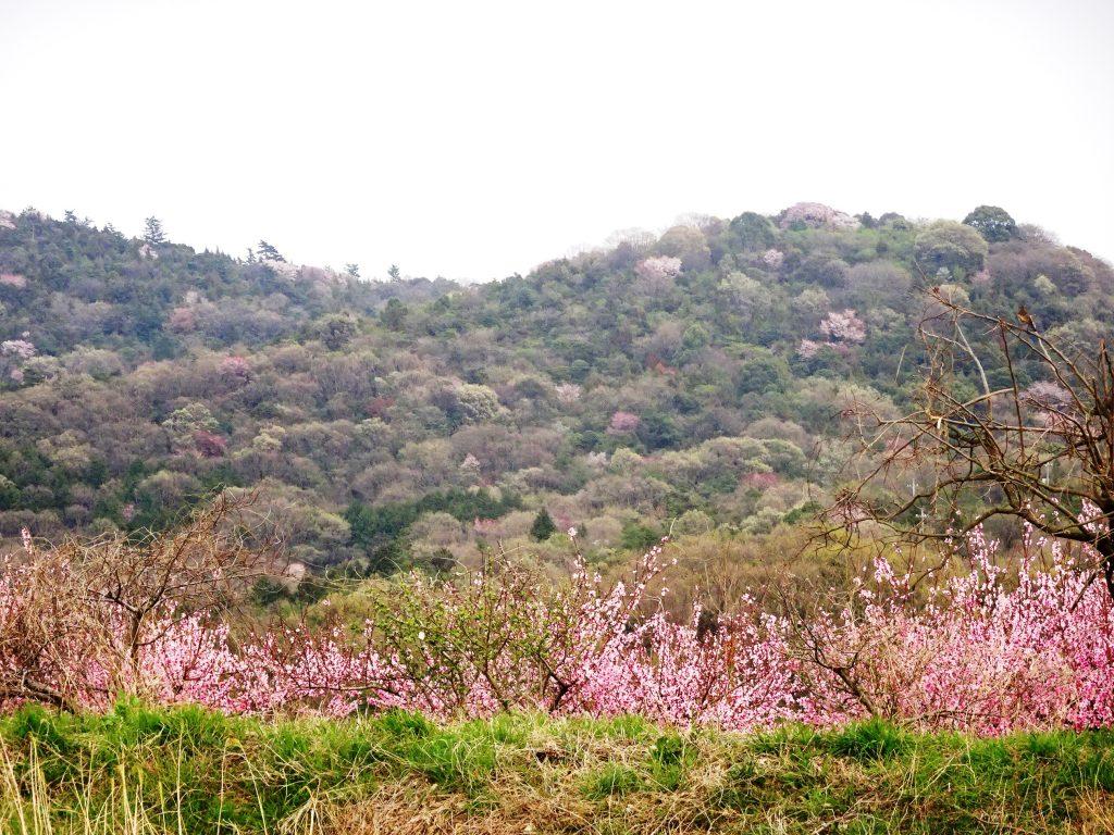 山の桜と里の桃