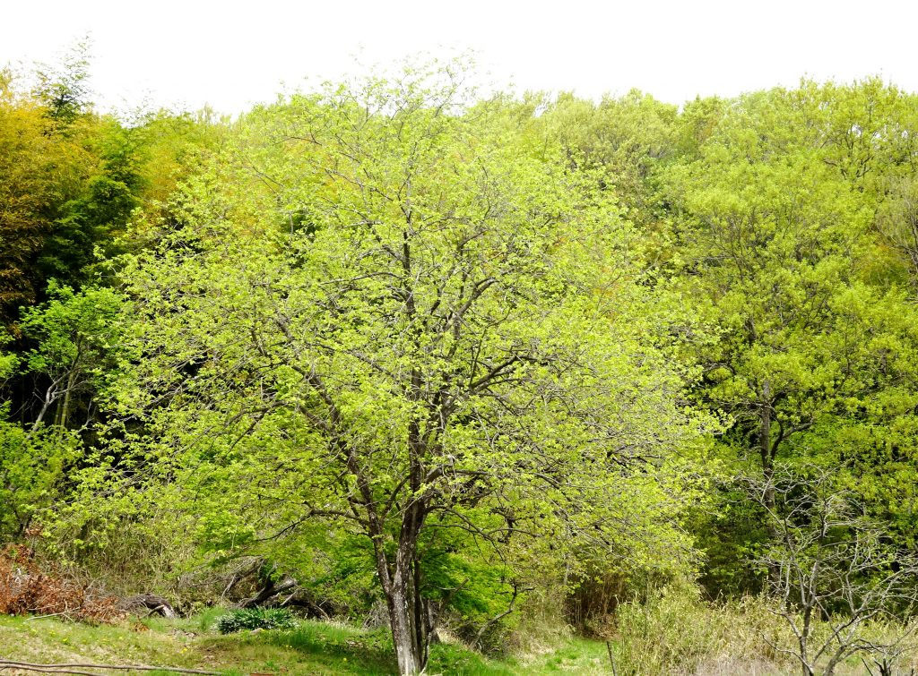 柿の木 芽吹く