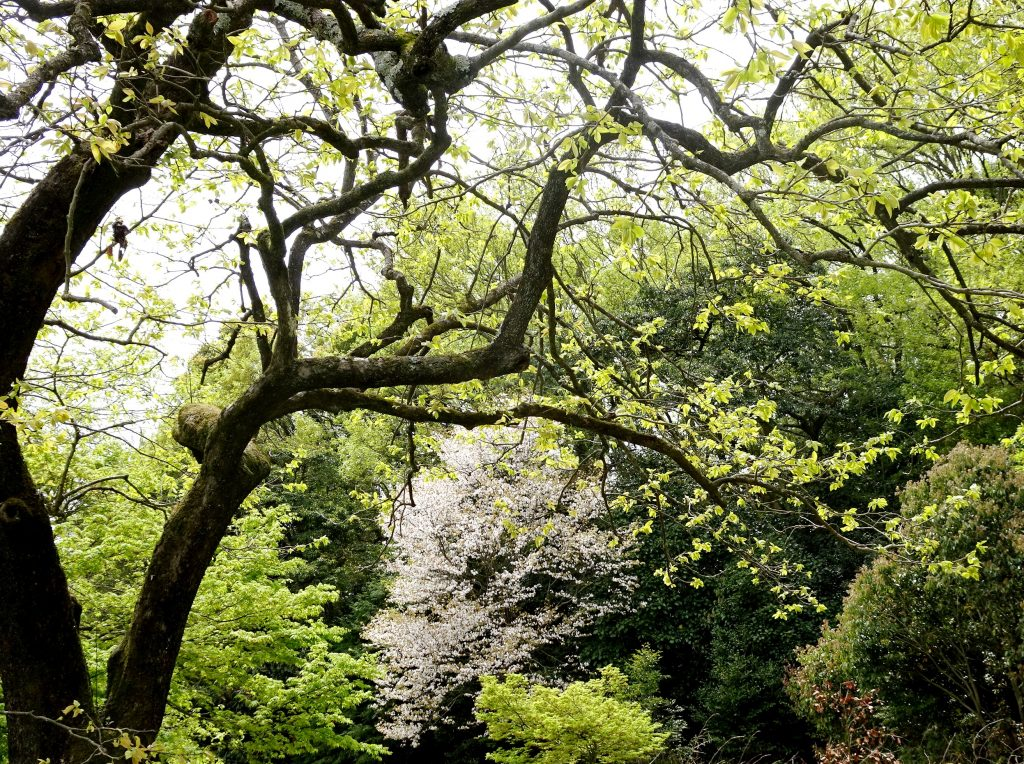柿の木と桜ともみじ
