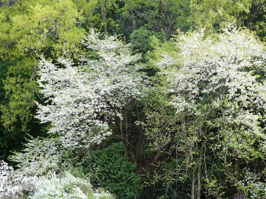 山桜とコゴメバナ