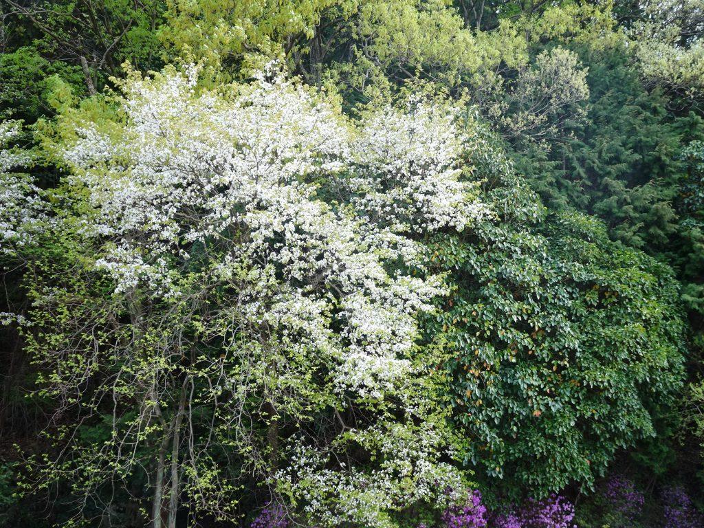 山桜と山つつじ