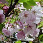 桜とわらびと逝く春と (nya.530)