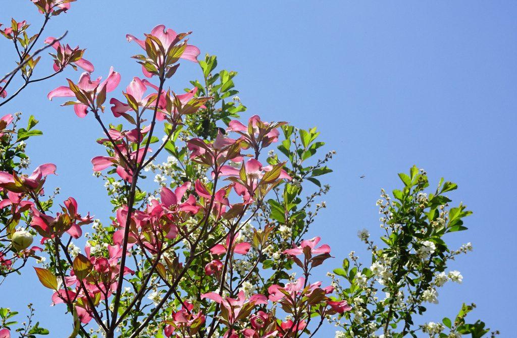 花水木と利久梅 (りきゅうばい)