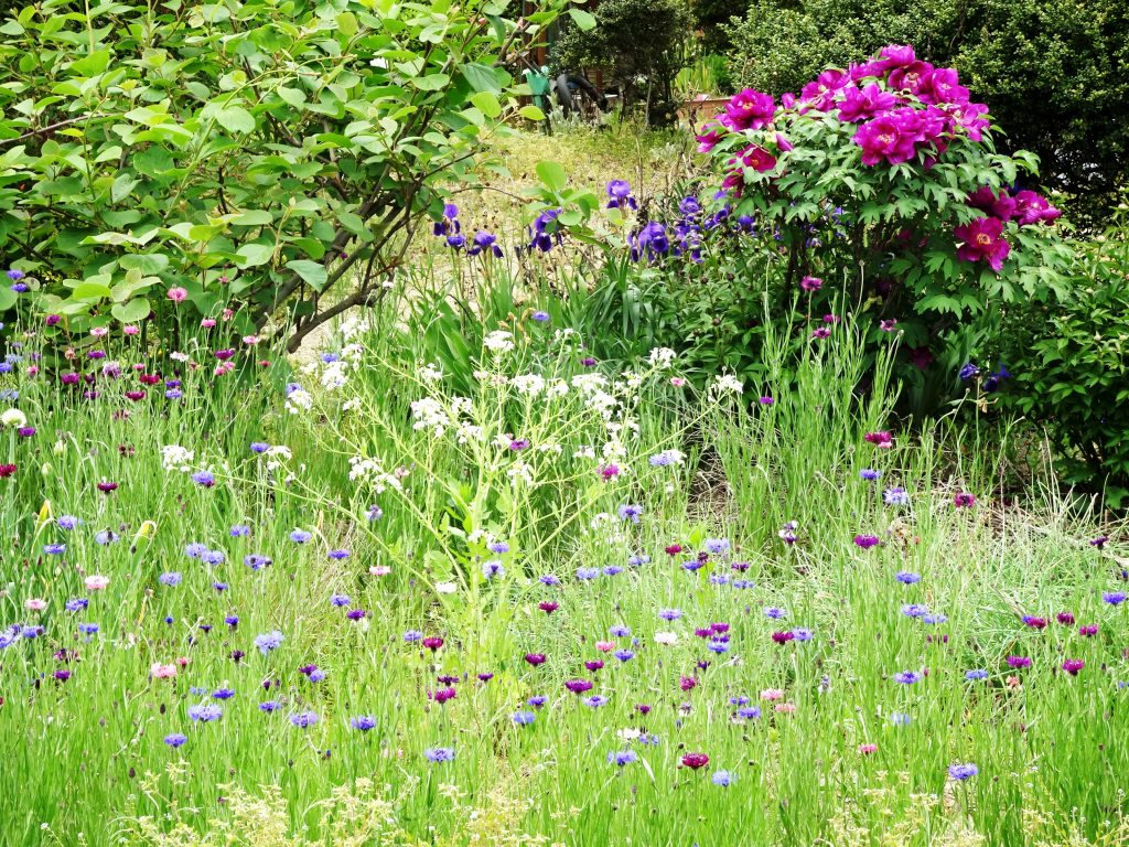 矢車草と牡丹と菖蒲と大根の花