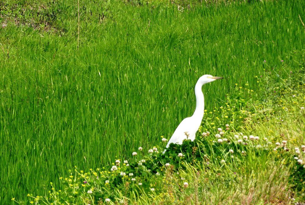 麦畑と白鷺