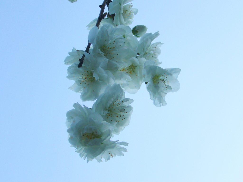 枝垂れ花桃