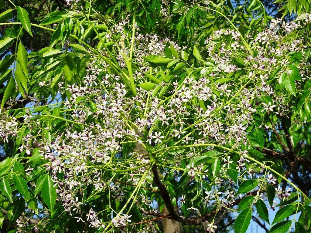 センダン(栴檀)の花満開