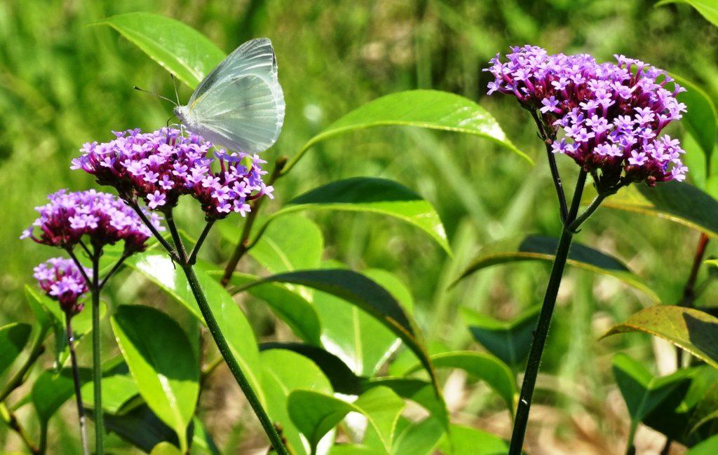 ヤナギハナガサ(柳花笠)と蝶