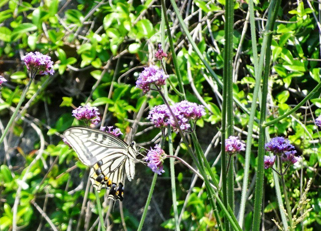 ヤナギハナガサ(柳花笠)とアゲハ蝶