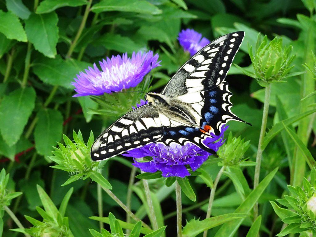 アゲハ蝶とストケシア