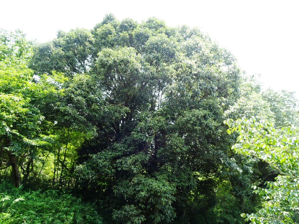 大きな樫の木