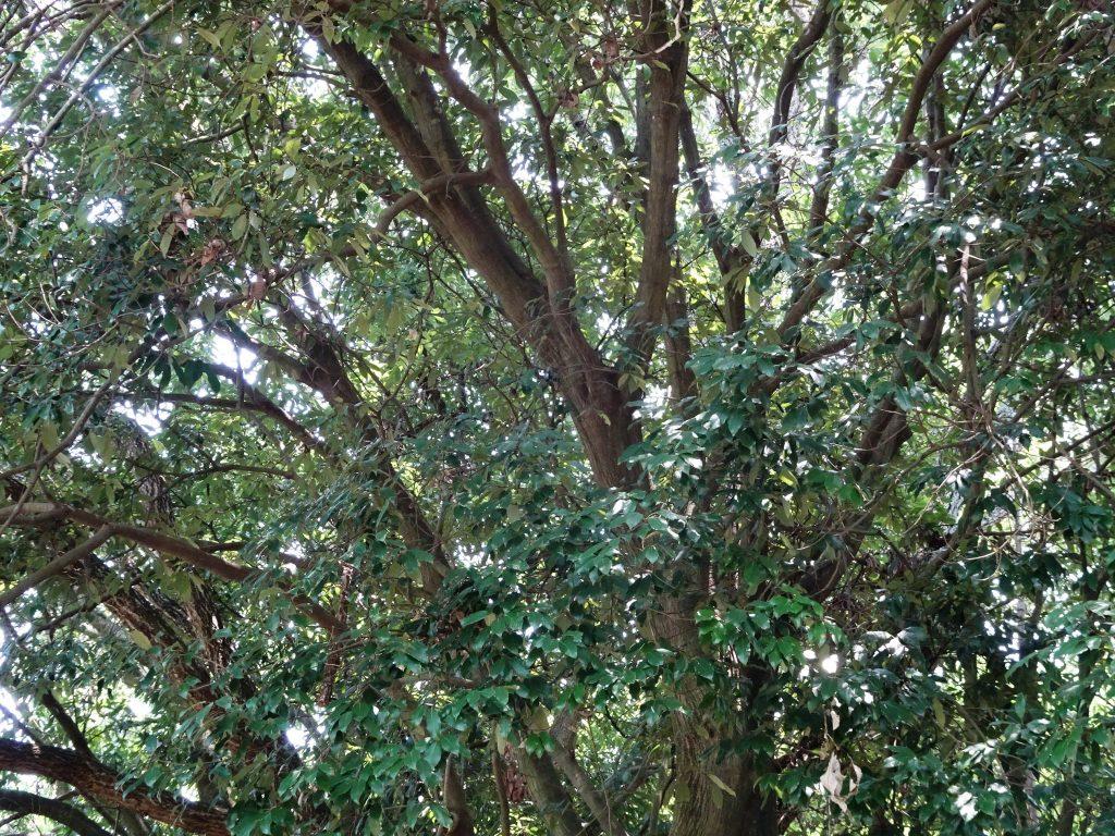 樫の木の枝ぶり