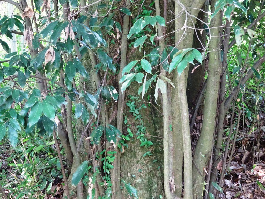 樫の木の根元