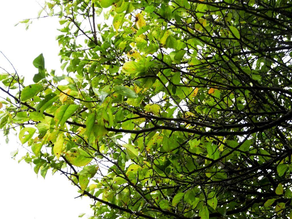 梅の木紅葉