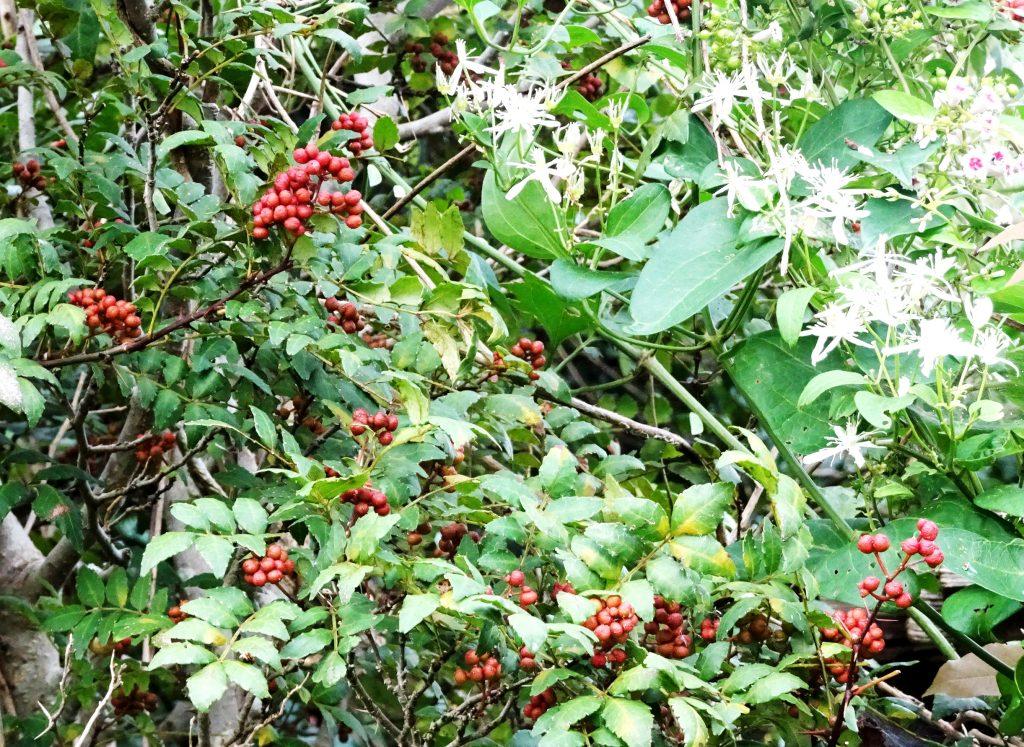山椒の実とセンニンソウ(仙人草)