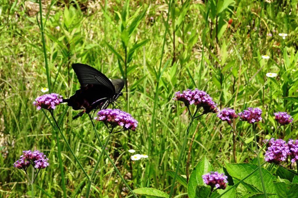 オナガアゲハ蝶