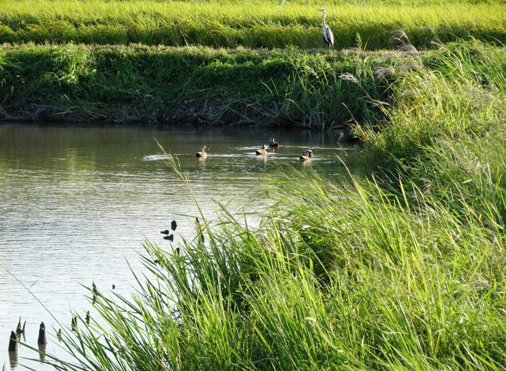 鴨とアオサギ