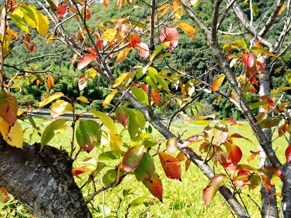 桜の紅葉と稲穂