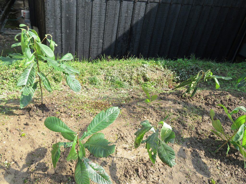 びわの苗木を植えました。