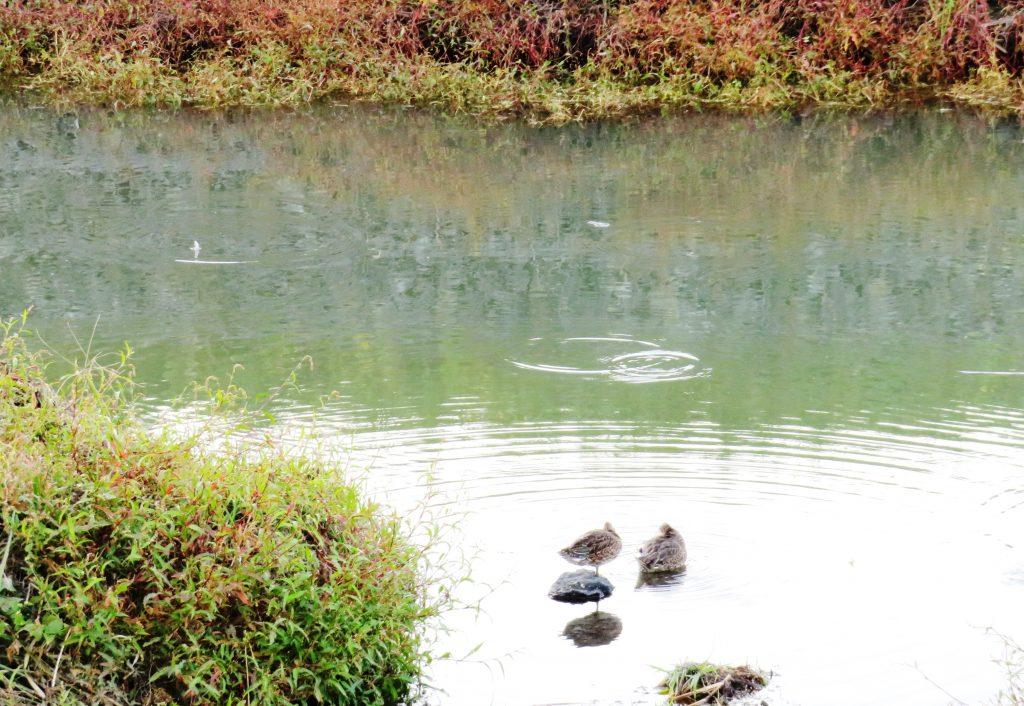 秋の田舎の川辺 鴨