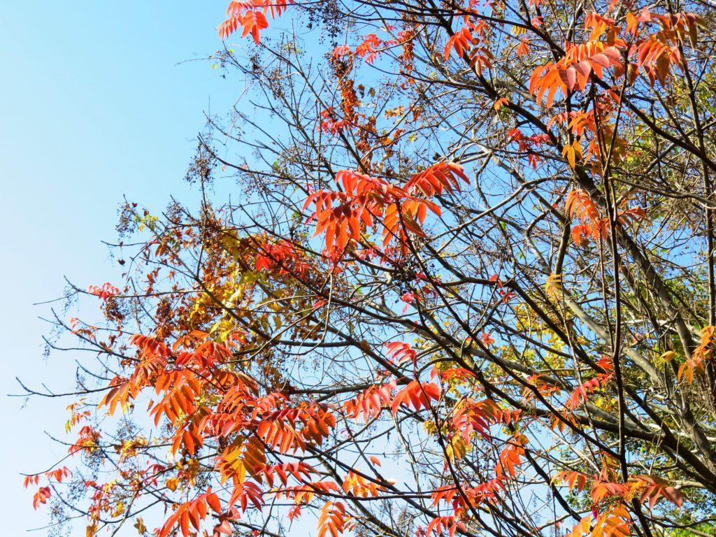 ハゼノキ(櫨の木)紅葉