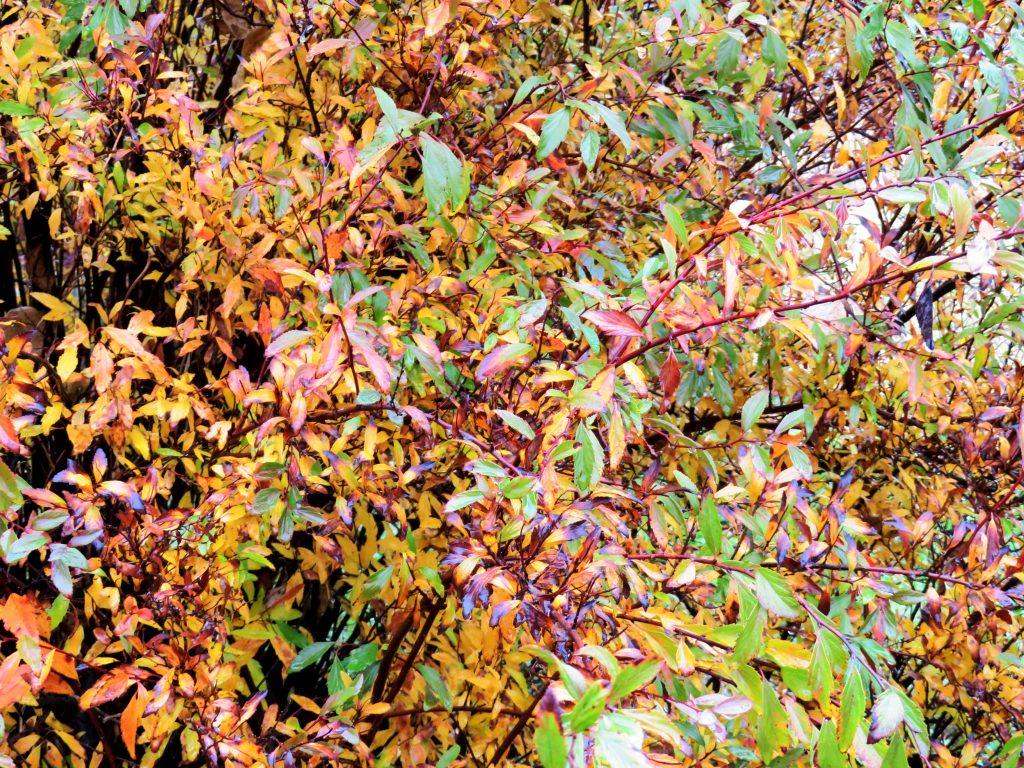 雨の日に残る紅葉