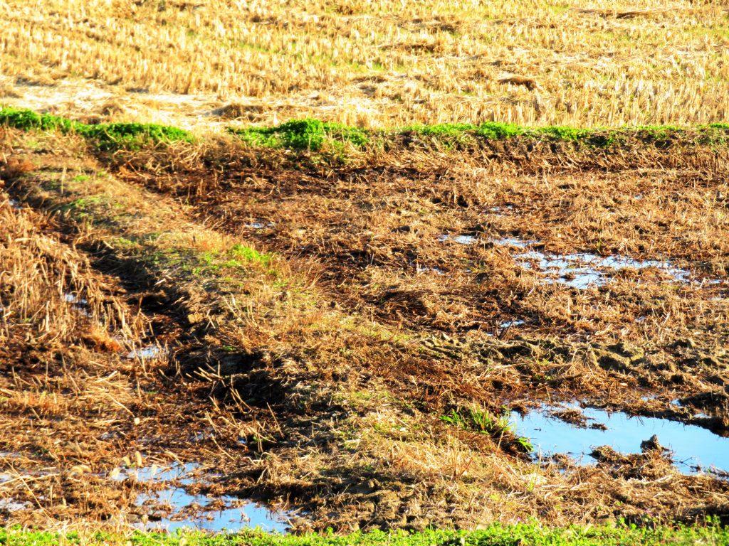 雨上がりの田んぼ