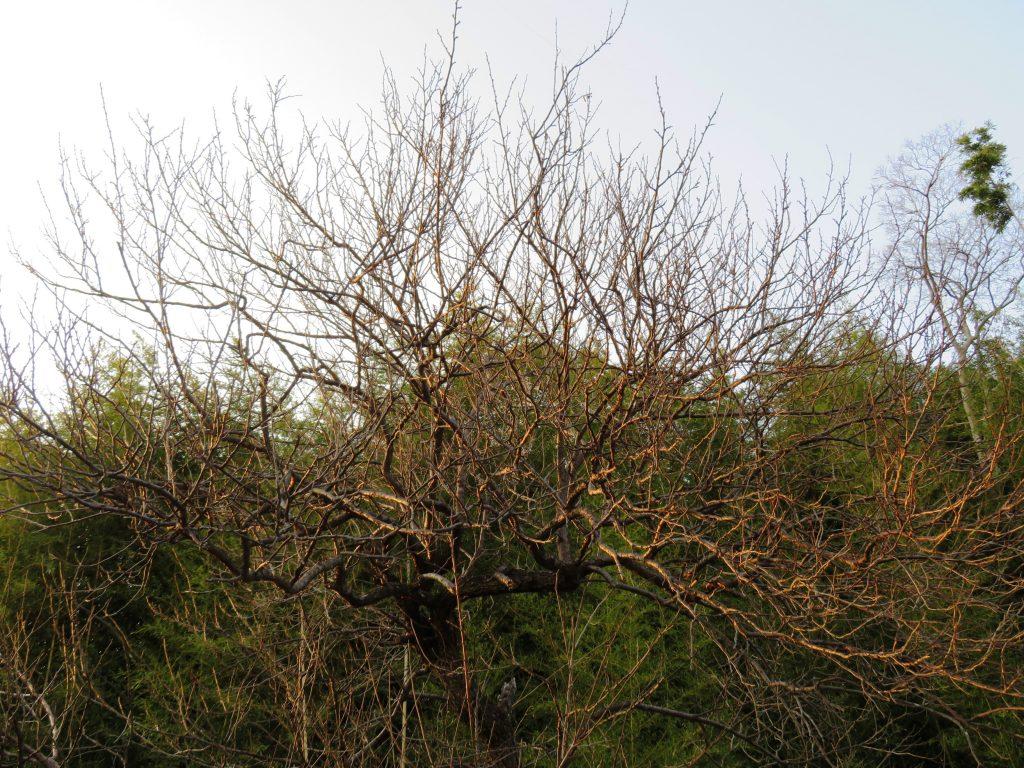 梅の木残照