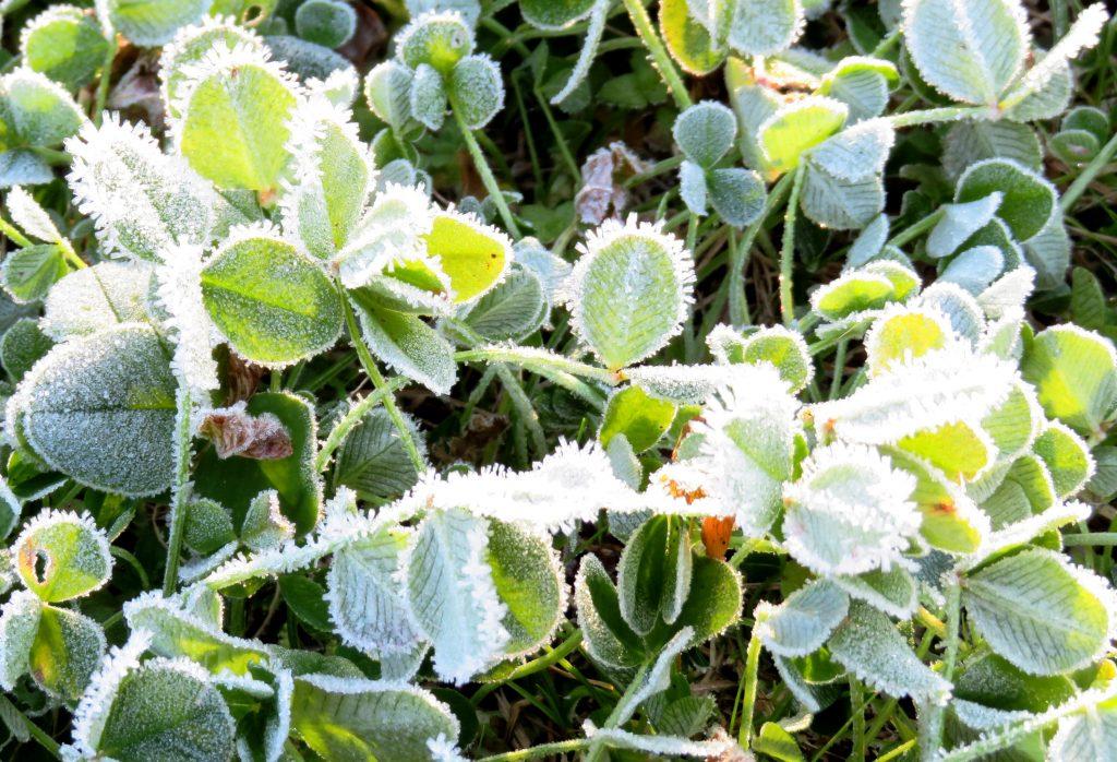 クローバーと霜