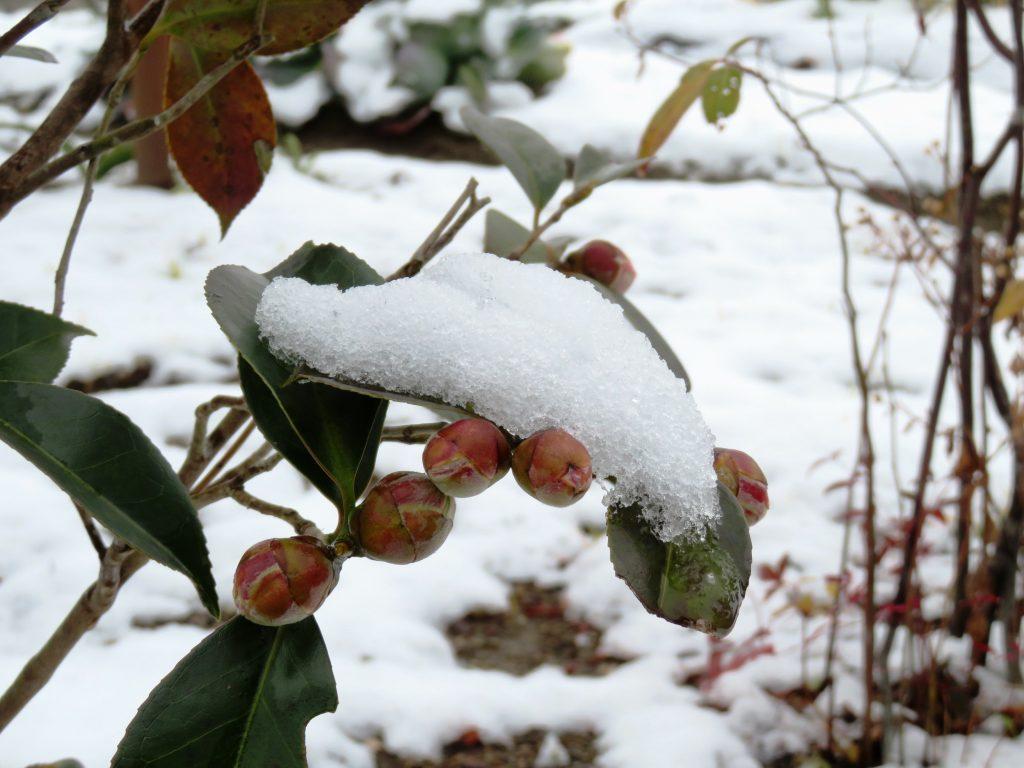 雪と椿の蕾
