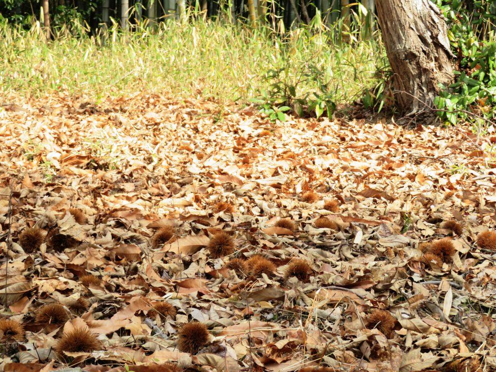 早春 栗の木