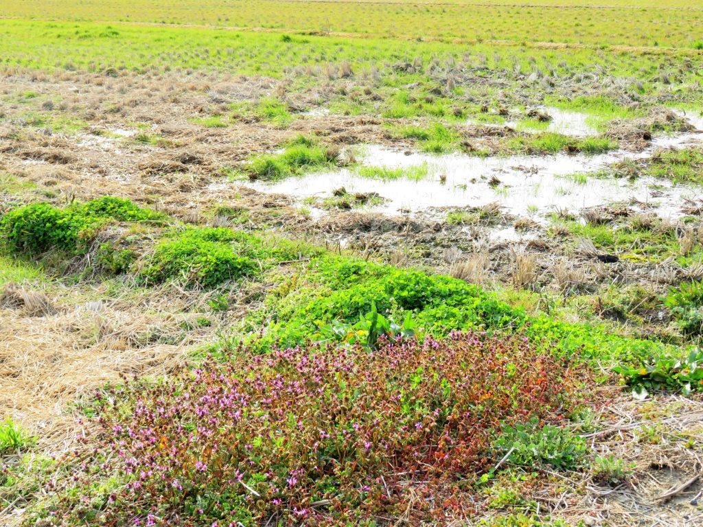 田んぼの水たまり