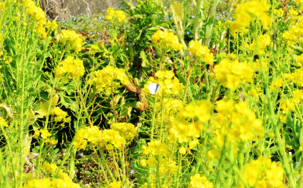 菜の花と紋白蝶