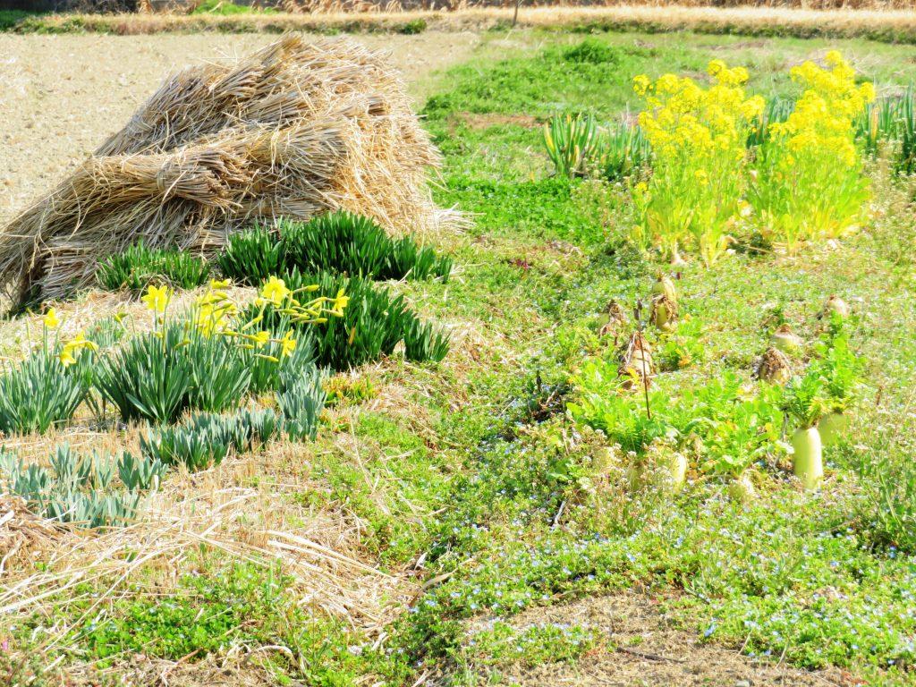 田舎の春の畑