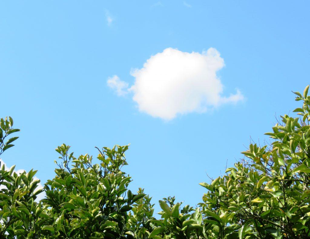 みかんの木と白い雲