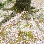 6度めの春も、、、桜花吹雪散歩 (nya.901)
