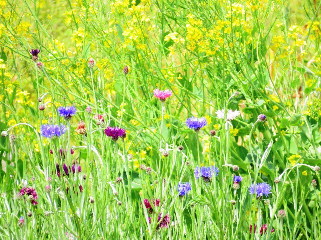 矢車草と菜の花