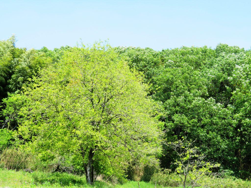 初夏の柿の木