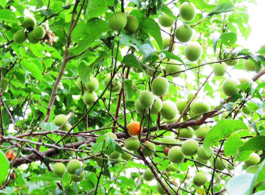 梅の実鈴生り