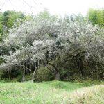 すももの木は「生きよ、生きよ」と言います。 (nya.1000)