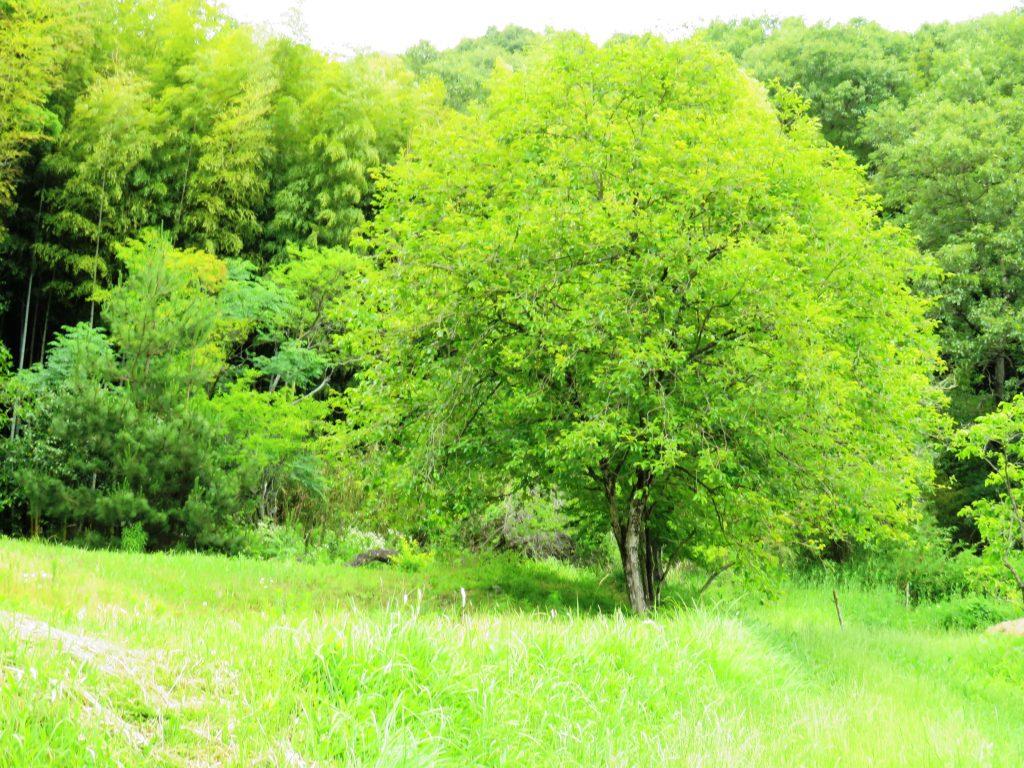 柿の木7月