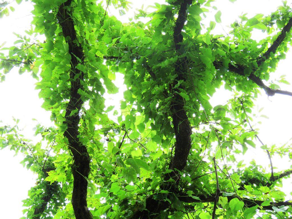 柿の木と蔦