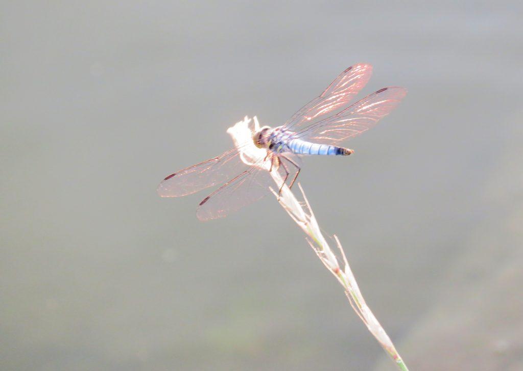 シオカラトンボ(塩辛蜻蛉)