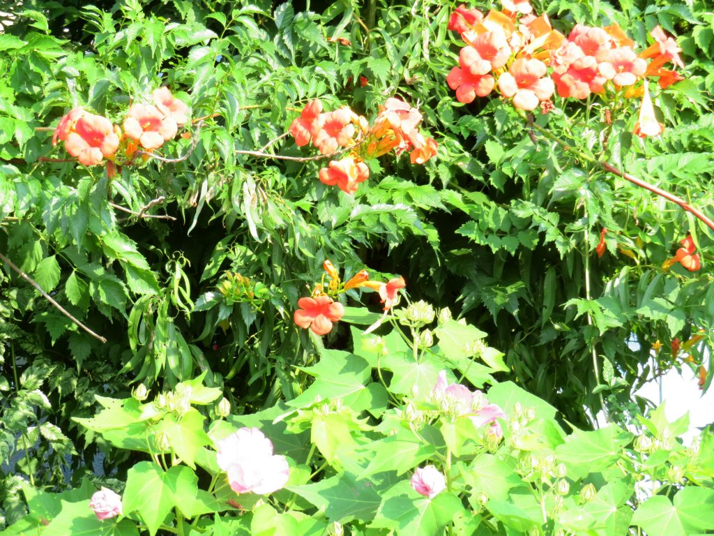 ノウゼンカズラ(凌霄花)と芙蓉